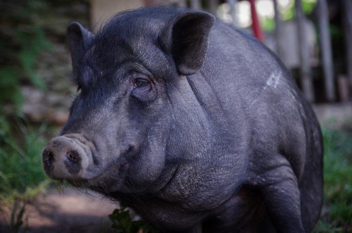 Paula das Hängebauchschwein