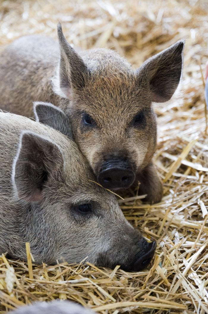 Unsere Schweine Emma und Fritzi